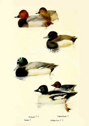Pochard, Seaup, Tufted Duck & Golden Eye